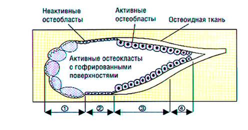 Схема строения костной единицы