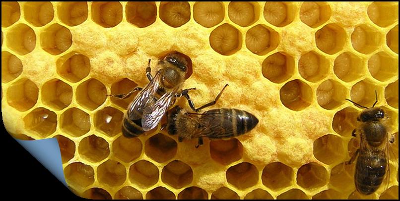 Пчелиный Трутневый гомогенат - Трутневый расплод