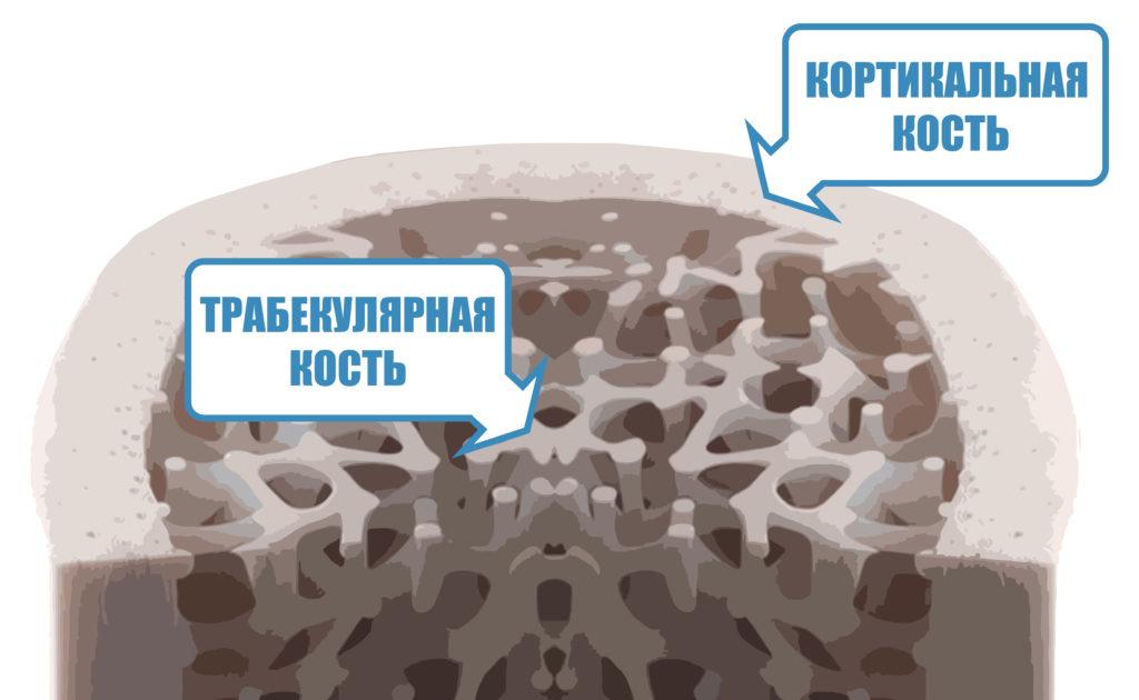кортикальная кость